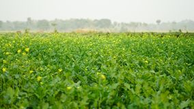 Senapsgult blomma i senapsgult lantbruk Royaltyfria Foton