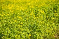 senapsgult blomningfält Royaltyfria Foton