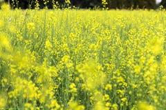 senapsgult blomningfält Royaltyfri Foto