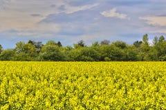 senapsgult blomningfält Arkivfoto