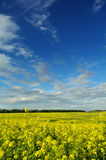 Senapsgult fält under härlig himmel Royaltyfri Bild