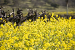 Senapsgultt blommor och vines fotografering för bildbyråer