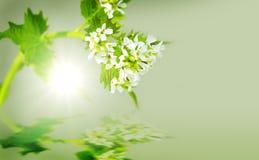 Senapsgultt växt för vitlök Royaltyfria Bilder