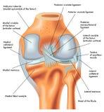 Senare sikt av höger knä i förlängning Arkivbild