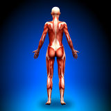 Senare sikt - kvinnliga anatomimuskler Arkivfoton