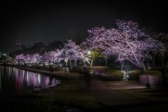 Senbameer Cherry Blossoms stock afbeeldingen