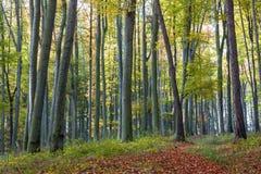Senda para peatones de hojas en bosque de la haya del otoño Fotografía de archivo