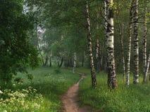 Senda para peatones en un birchwood Imagen de archivo libre de regalías