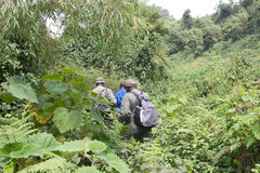 Senderismo del gorila de montaña en el bosque Fotografía de archivo