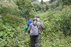 Senderismo del gorila de montaña en el bosque Imagen de archivo libre de regalías