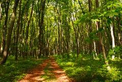 Sendero en bosque de hojas caducas verde entre los árboles, frescura del bosque de la naturaleza fotos de archivo