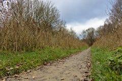 Sendero en otoño con los árboles secos de la caña y de abedul en ambos lados Imagen de archivo