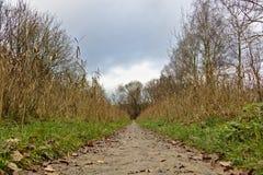 Sendero en otoño con los árboles secos de la caña y de abedul en ambos lados Imagen de archivo libre de regalías