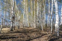 Sendero entre el plantación de árboles Abedules en día soleado de la primavera Paisaje del resorte foto de archivo