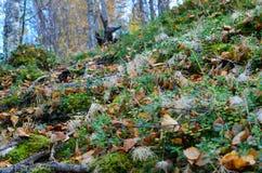 Sendero salvaje hermoso cubierto con las hojas de otoño caidas y las viejas raíces del árbol Fotos de archivo libres de regalías