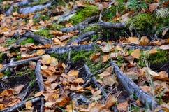 Sendero salvaje hermoso cubierto con las hojas de otoño caidas y las viejas raíces del árbol Imagenes de archivo