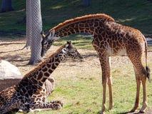 Seneca Giraffes immagini stock libere da diritti