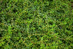 Senecio, πολλοί μακροχρόνιοι μίσχοι με τα στρογγυλά φύλλα κατά μήκος του ολόκληρου μήκους στοκ εικόνα