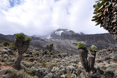 senecio держателя kilimanjaro kilimanjari пущи Стоковое фото RF