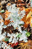 Senecio cineraria plant and leaf litter Royalty Free Stock Images