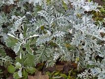 Senecio cynerarii ` srebra pyłu ` krzak Fotografia Royalty Free