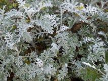 Senecio cynerarii ` srebra pyłu ` krzak Obrazy Royalty Free