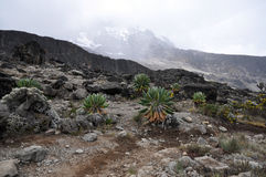 Senecio Kilimanjari forest on mount Kilimanjaro Royalty Free Stock Photo