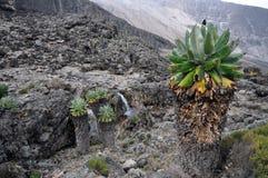 Senecio Kilimanjari forest on mount Kilimanjaro Royalty Free Stock Photography