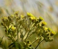 Senecio in piena fioritura Fotografia Stock Libera da Diritti