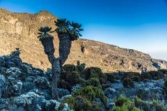 Senecio plant in Machame route to Kilimanjaro peak. Tanzania Royalty Free Stock Photography