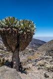 Senecio plant in Machame route to Kilimanjaro peak. Tanzania Royalty Free Stock Image
