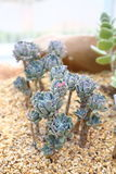 Senecio Serpens Succulent Plant. Senecio Serpens blue chalksticks, asteraceae, Succulent, Green Plant in garden and park. easy growing. less water required. easy Royalty Free Stock Photo
