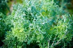 Senecio vulgaris Stock Photo
