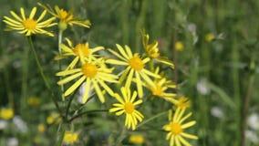 Senecione comune (senecio jacobaea) archivi video