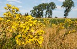 Senecione di tanaceto di fioritura giallo al bordo di terreno coltivabile Fotografia Stock