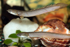 Senegal bichir aquarium fish Royalty Free Stock Images
