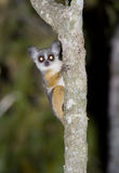 Senegal bushbaby. Senegal bushbaby (Galago senegalensis) in nocturnal savanna (Kenya Royalty Free Stock Photo