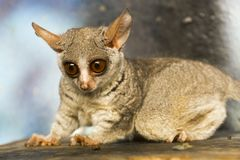 Senegal bushbaby or galago. The African cute: Senegal bushbaby - Galago senegalensis royalty free stock image