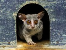 Senegal bushbaby or galago. The African cute: Senegal bushbaby - Galago senegalensis stock images