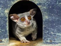 Senegal bushbaby or galago. The African cute: Senegal bushbaby - Galago senegalensis stock photo