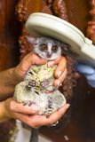 Senegal bushbaby in hand. Senegal bushbaby Galago senegalensis in hand at microchip reading stock photography