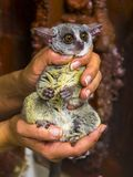 Senegal bushbaby in hand. Senegal bushbaby Galago senegalensis in hand is waiting for veterinary examination stock images