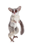 The Senegal bushbaby isolated on white. The Senegal bushbaby, Galago senegalensis, isolated on white background Stock Photo
