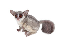 The Senegal bushbaby isolated on white. The Senegal bushbaby, Galago senegalensis, isolated on white background Stock Images