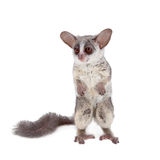 The Senegal bushbaby isolated on white. The Senegal bushbaby, Galago senegalensis, isolated on white background Royalty Free Stock Images