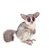 The Senegal bushbaby isolated on white. The Senegal bushbaby, Galago senegalensis, isolated on white background Stock Photos