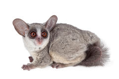 The Senegal bushbaby isolated on white. The Senegal bushbaby, Galago senegalensis, isolated on white background Royalty Free Stock Image