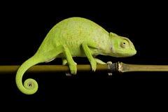 Senegal chameleon. (Chamaeleo Senegalensis) isolated on black background Stock Image