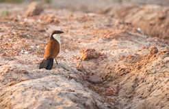 A Senegal Coucal checking the ground. The Senegal Coucal is a highly adaptive bird which looks for food both in the bushes and trees as well as on the ground of Stock Photos