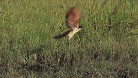 Senegal Coucal, senegalensis del centropus, adulto sacando, en vuelo, la reserva de Moremi, delta de Okavango en Botswana, almacen de metraje de vídeo